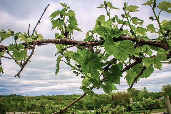 Nearwood-Winery-grapes